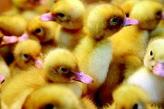 Duck Care Article - Tips For Raising Ducks and Ducklings #HowToRaiseDucks www.FreeHenHousePlans.