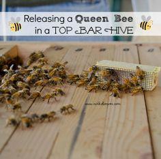 Releasing The Queen Bee | Our Almost Catastrophic Mistake | #BeeKeeping