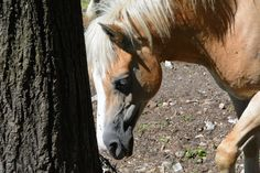 Blonde Horse - Avelignese horse - Vercurago, Lecco, Italy. Italy, Horses, Animals, Italia, Animales, Animaux, Animal, Animais, Horse