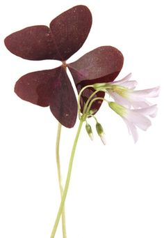 The lucky shamrock plant, also known as woodsorrel, is a festive plant with tri-leaved foliage often given to commemorate St. Patrick's Day. From the genus oxalis, the lucky...