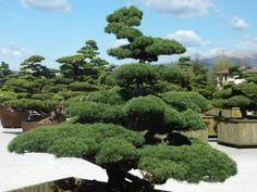 Luxury Trees Ahorn, Azalee, Big Bonsai Gardenbonsai jap. Gartenbonsai