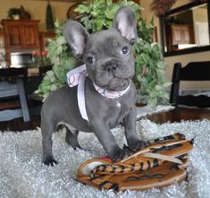 If you want a French Bulldog, this sight can help. Puppy and dog classifieds from local breeders, rescues and shelters. Find dogs for sale or adoption.: