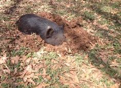 The easiest way to refurbish a pasture is to use a foraging type of hog. This is an American Guinea Hog working the soil and fertilizing along the way. Keep the hogs moving around the pasture with electric fencing. No more compaction and the ground is ready for reseeding.