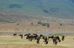Wildebeest Ngorongoro Crater