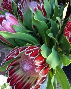 Protea - 6 Absolutely Vibrant Flowers That Start With P & Their Secrets - Protea Plant, Protea Flower, Desert Plants, Growing Flowers, Petunias, Pansies, Poppy, Vibrant, Gardening