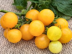 Grow a beautiful, delicious edible garden in very little space with Yellow Canary Tomato. An ideal determinate tomato for. Vitamins For Heart Health, Hardening Off Seedlings, Determinate Tomatoes, Yellow Fruit, Quick Healthy Snacks, Fall Vegetables, Red Tomato, Growing Tomatoes, Grow Your Own Food