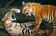 Michael Nichols: Play-Fighting Bengal Tigers