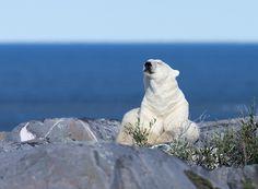 """Sun Blissful Sun  ... Churchill, Manitoba, Canada .. """"A male polar bear 3-5 years of age enjoys basking in the sun on the rocky shores of Hudson Bay near Churchill, Manitoba."""" by Kim Dalberg"""