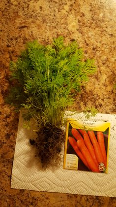 Getting carrot plants to form roots or carrot roots that become gnarled are amongst the more common carrot growing problems. The following article centers on how to get carrots to grow properly. So if you have carrots not forming, click here to learn more.
