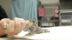 Meal Time for Baby Squirrel at City Wildlife. Alicia DeMay, clinic director at City Wildlife, feeds a baby squirrel brought to the northwest... http://www.huffingtonpost.com/2014/08/26/baby-squirrel-passes-out-city-wildlife_n_5716903.html