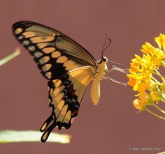 Butterflies and Moths of North America   collecting and sharing data about Lepidoptera