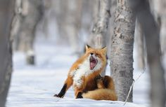 Yawning Fox Photo © Igor Shpilenok Photographer's description: My neighbor from Kronotsky Nature Reserve in Kamchatka, Mr Fox, hiding from his mates during the mating season. Fantastic Fox, Fabulous Fox, Beautiful Creatures, Animals Beautiful, Cute Animals, Lion Tigre, Fuchs Baby, Foxes Photography, Winter Photography