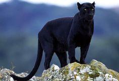 Panther - Black Jaguar surveys his domain.