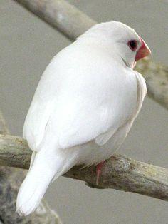 ハクブンチョウ(白文鳥)