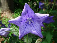 Blue Star Flower by klmontgomery, via Flickr