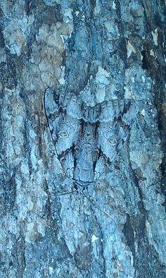 Een mot gecamoufleerd in de schors van de boom