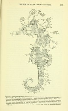 Seahorses:  v. 83 1937 - Proceedings of the United States National Museum. - Biodiversity Heritage Library