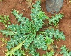 Böbrek rahatsızlıkları için birebir olan bu bitki, böbrek taşı düşürmede önemli bir etkiye sahip olduğu bilinmektedir.