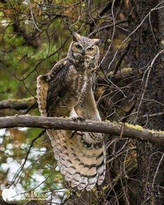 Wash your spirit clean. and in the eternal youth of Nature you may renew your own. Owl Photos, Owl Pictures, Elf Owl, Owl Ornament, Great Horned Owl, Curious Creatures, Beautiful Owl, Owl City, Wise Owl