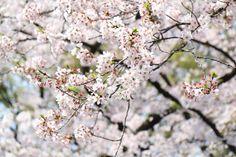 Sakura in full bloom Ueno Park Tokyo Japan April 2016 [1920x1280] [OC]