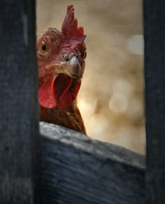 """The coast is almost clear. Then we'll sneak in, grab the pie and run.""  Rooster by cjuel, via Flickr"