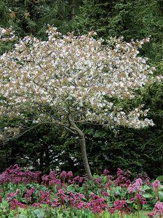 Rungollinen sIrotuomipihlaja Topiary Trees, Wild Nature, Dream Garden, Garden Plants, Backyard, Landscape, Flowers, White Trees, Outdoors