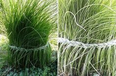 Növények teleltetése – Minden, amit tudni kell a növények teleltetéséről Grass Type, Garden Inspiration, Herbs, Outdoor Decor, Plants, Minden, Weaving, Herb, Plant