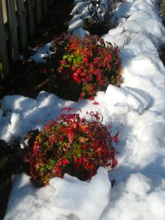 These andina shrubs look beautiful even in winter.