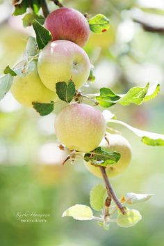 apples | Flickr - Photo Sharing!