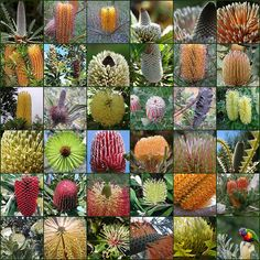 Banksias of Australia come in all colours and shapes. This is a collage of some