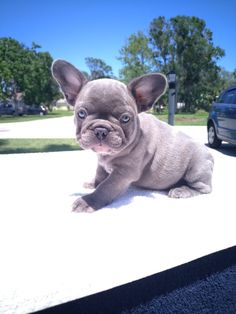 Find Out More On The Affectionate French Bulldog Dogs Exercise Needs Blue Fawn French Bulldog, Pied French Bulldog, French Bulldog Drawing, French Bulldog Facts, French Bulldog Puppies, French Bulldogs, Cute Puppies, Dogs And Puppies, Puppy Backgrounds