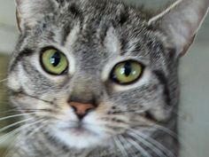 Meet NOÉMIE, an adoptable Tabby - Grey looking for a forever home. If you're looking for a new pet to adopt or want information on how to get involved with adoptable pets, Petfinder.com is a great resource.