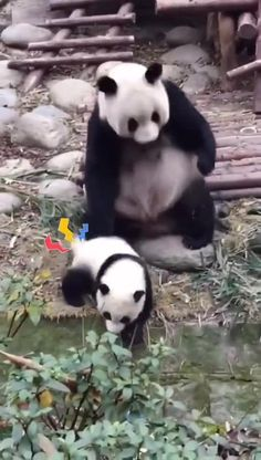 Cute Funny Babies, Funny Cute Cats, Cute Funny Animals, Cute Baby Animals, Animals And Pets, Cute Panda Baby, Cute Animal Videos, Funny Animal Pictures, Applis Photo
