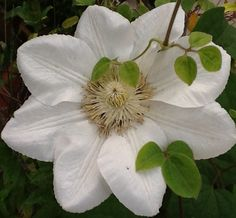 Clematis.  My favorite climbing plant.
