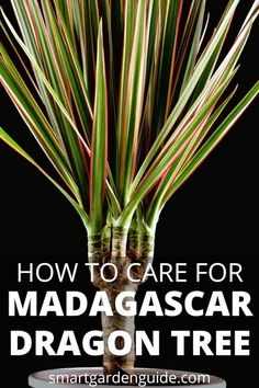 Madagascar Dragon Tree Care - Dracaena Marginata - Smart Garden Guide Dragon Tree Care, Dragon Tree Plant, Smart Garden, Garden Care, Monstera Deliciosa, Ficus, Dracena Plant, Palm Tree Care, Gardens