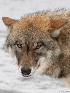 """""""young wolf"""" by Jens-Uwe Hoffmann, via 500px."""