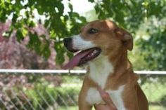 bear is an adoptable Basenji Dog in Chillicothe, OH. Bear is a brown/white, 6 month old Basenji mix. Short Coat. Weight: 14.8 pounds Shelter Vaccinations & Meds: 5 Way Immunization Booster Bordetella ...