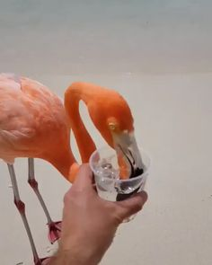 Flamingos on the beach! 💦 Thirsty in Aruba, Caribbean 🌴 Video and photos by The post Flamingos on the beach! Funny Animal Videos, Cute Funny Animals, Cute Baby Animals, Funny Cute, Animals And Pets, Cute Creatures, Beautiful Creatures, Beautiful Birds, Animals Beautiful