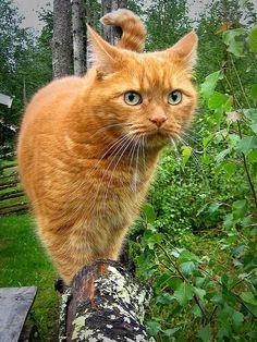 Orange tabby in the garden.