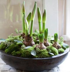 Beautiful Christmas plantation: amaryllis and hyacinths as well as moss and sparrows. Diy Garden, Indoor Garden, Indoor Plants, Garden Ideas, Container Plants, Container Gardening, Christmas Flowers, Christmas Decorations, Christmas Plants