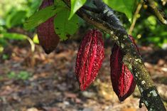 Jochen Weber - Cocoa: A Photographic Documentary Cacao Fruit, Documentary, Cocoa, Random Stuff, Paradise, Trees, French, Vegetables, Recipe