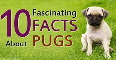 Here are 10 amazing facts about pugs or mops, which is thought to have contributed genes to the English Bulldog, the Pekingese, and the King Charles Spaniel.