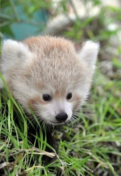Baby red panda born at Sequoia Park Zoo in Eureka finally has a name