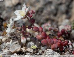 Sedum brevifolium - Hábito | Ana Júlia Pereira; CC BY-NC 4.0