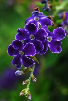 Lovely Purple Blossoms