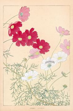 Cosmos from Chigusa Soun Flowers of Japan Woodblock Prints 1900