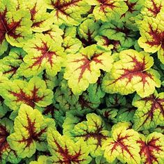 plantfinder.sunset.com - X Heucherella 'Stoplight'  Shade plant