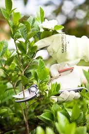 How To Prune A Gardenia Bush Gardenia Bush Gardenia Plant Gardenia Trees