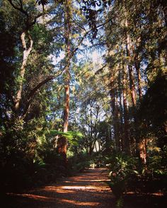 Redwoods in the Ancient Forest @descansogardens #garden #gardenersnotebook #tree #outdoors #nature #plants #redwoods