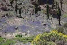 Las Cañadas del Teide, Floración en Primavera. Montaña del Cedro.